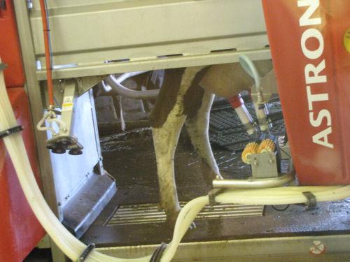 robotic cow milking