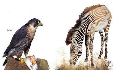 hawk and zebra