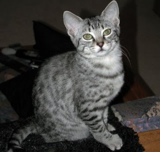 Egyptian Mau Picture