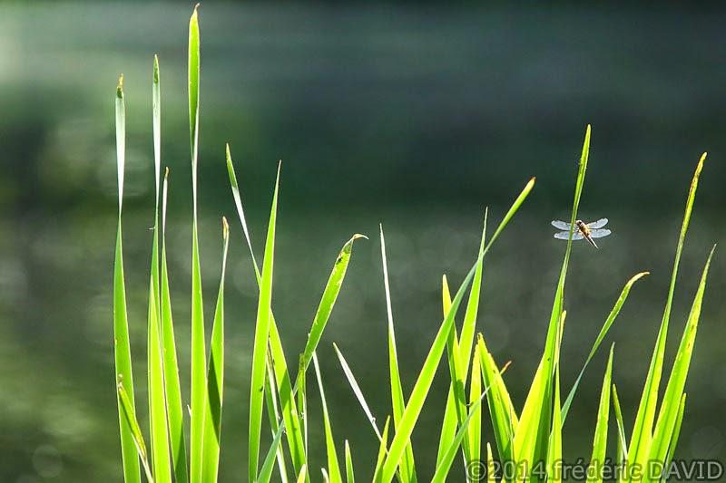 forêt insectes libellule  mare aux évées forêt Fontainebleau Seine-et-Marne