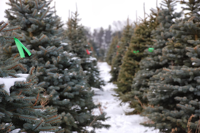 Bell's Creek Tree Farm, Mount Forest Ontario, Christmas Tree
