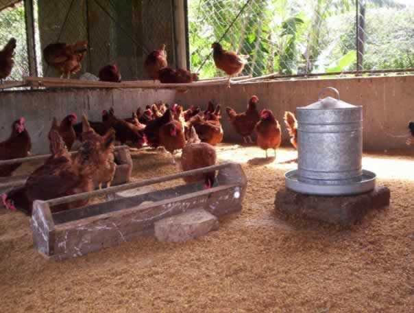Mi huerto en casa la gallinaza excelente como abono para los cultivos org nicos - Casas para gallinas ...
