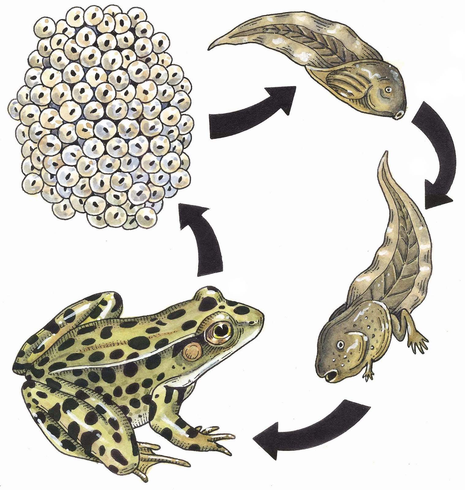 Displaying 16> Images For - Life Cycle Of A Frog...