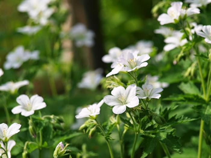 Plante til den nemme have uden stor vedligeholdelse. Plante til den dovne have