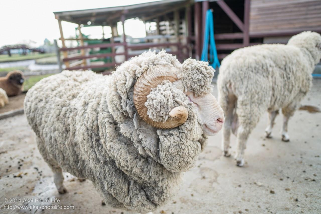 マザー牧場 もこもこの毛が可愛い羊