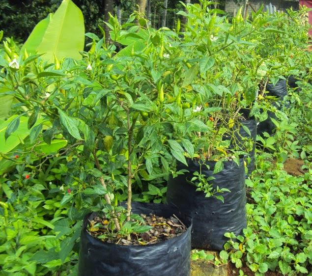 Jual bibit pohon cabe | supllier tanaman | jasa tukang taman