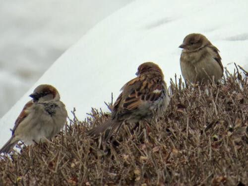 English sparrows