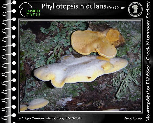 Phyllotopsis nidulans (Pers.) Singer