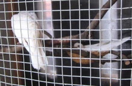 budidaya burung cara merawat dan beternak menangkar