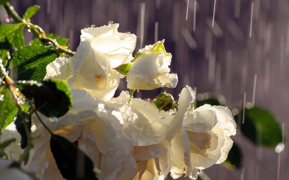 dew-drops-white-rose-flowers