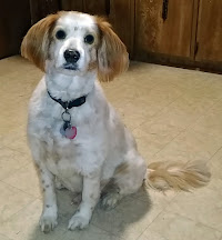 """Our Brittany, """"Buddy"""""""