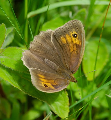 Meadow Brown Maniola jurtina female