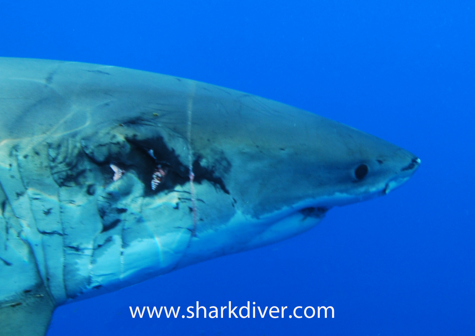 Shark Diver : Shark Diving : Swimming With Sharks: How fast do Great White Sharks heal?
