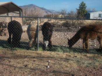 Feeding time (l -r) Kardigan, Stewie, Cimmaron, Prince