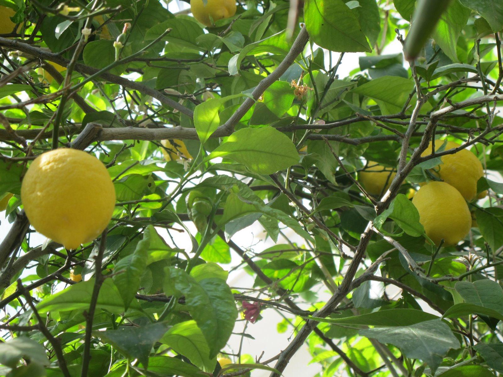 flora nel salento e anche altrove citrus limon l burm f rutaceae limone. Black Bedroom Furniture Sets. Home Design Ideas
