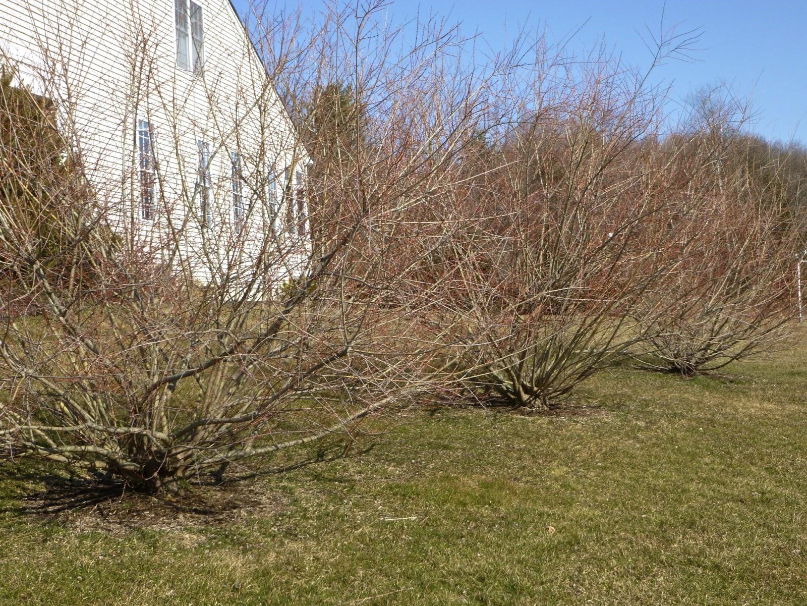El patio trasero de Ferida: Hedge Willow Dappled