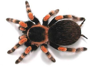 mexican red knee tarantula brachypelma smithi spider poisonous pets wallpaper