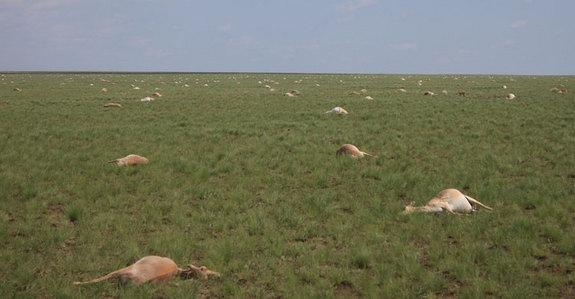 Alien Mass Kill Over 60,000 Antelope With Experiment, UFO Sightings