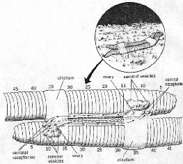 Diagram Of Earthworm Reproduction - Online Schematic Diagram •