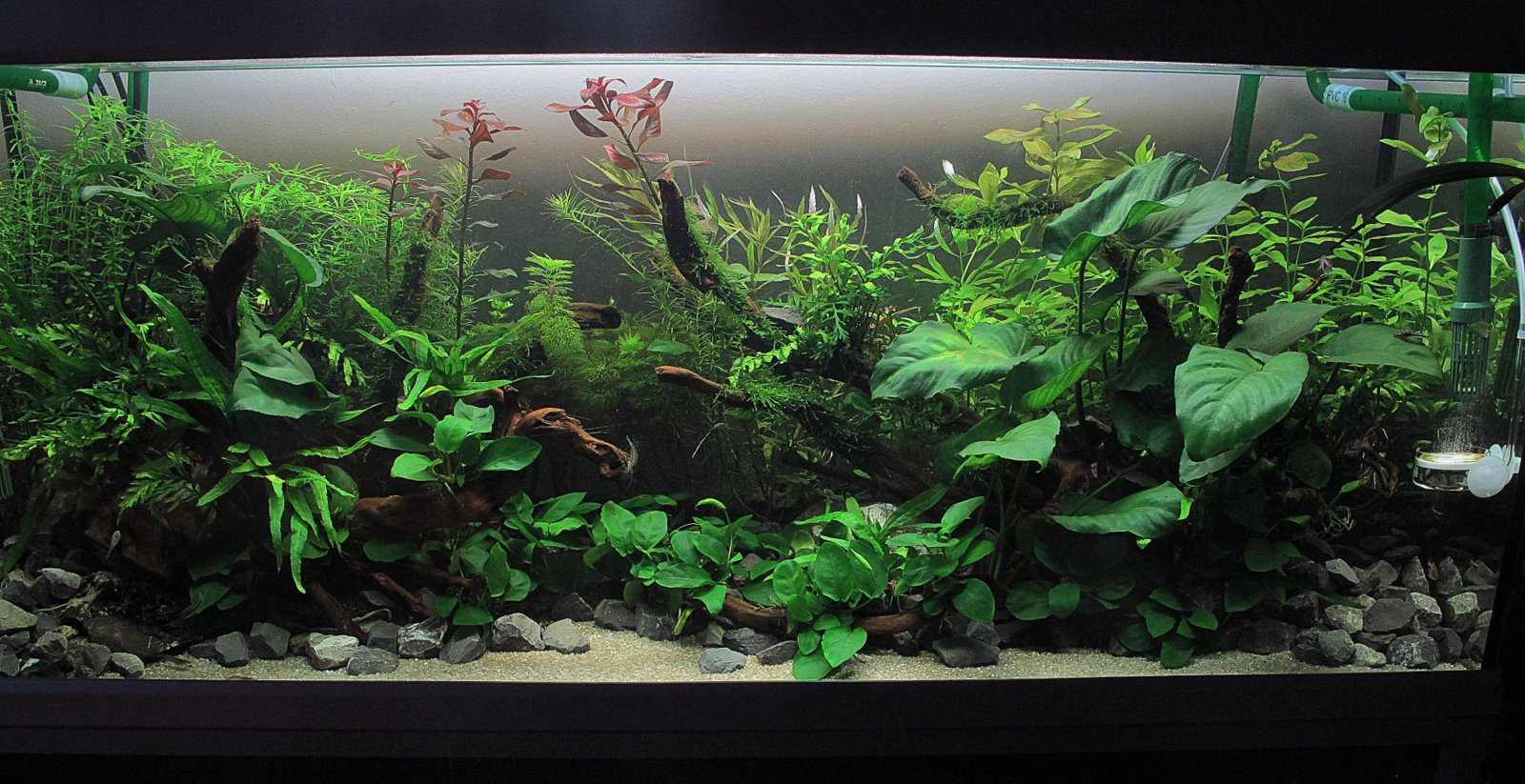 Aquarium 120x40x50 day 21 for Aquarium 120x40x50
