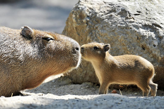 capybara2.jpg