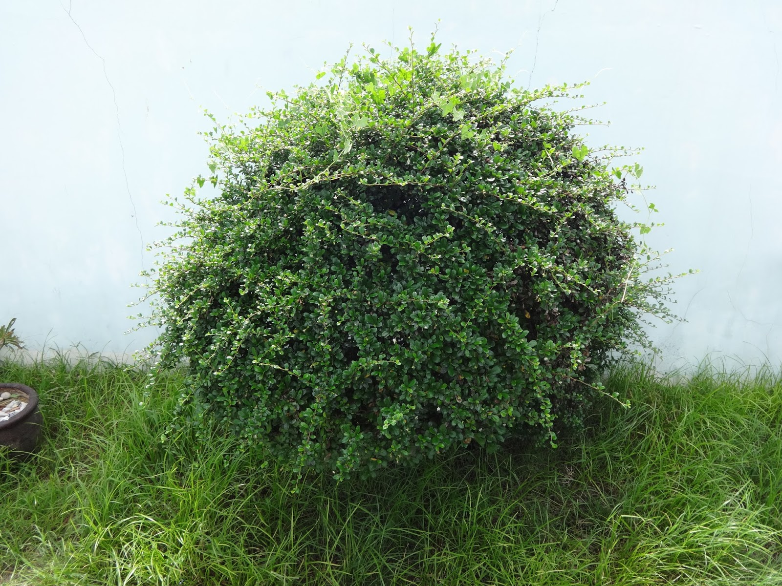 Herbs From Distant Lands Ehretia Microphylla Fukien Tea Fujian