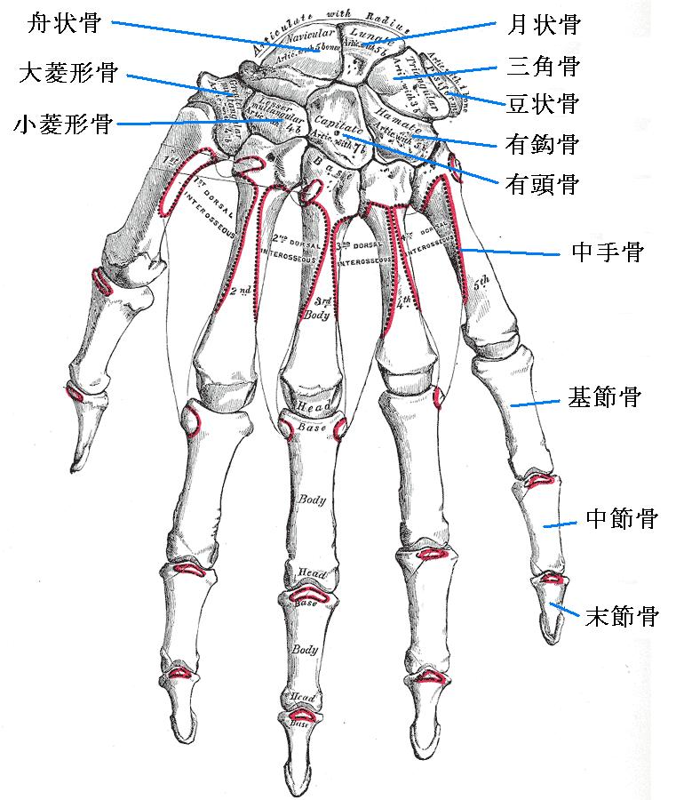 Carpal Bones Mnemonic Anatomy