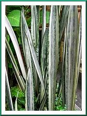 Jual sansevieia lidah mertua | macam-macam sansiviera | suplier tanaman | jasa desain taman |