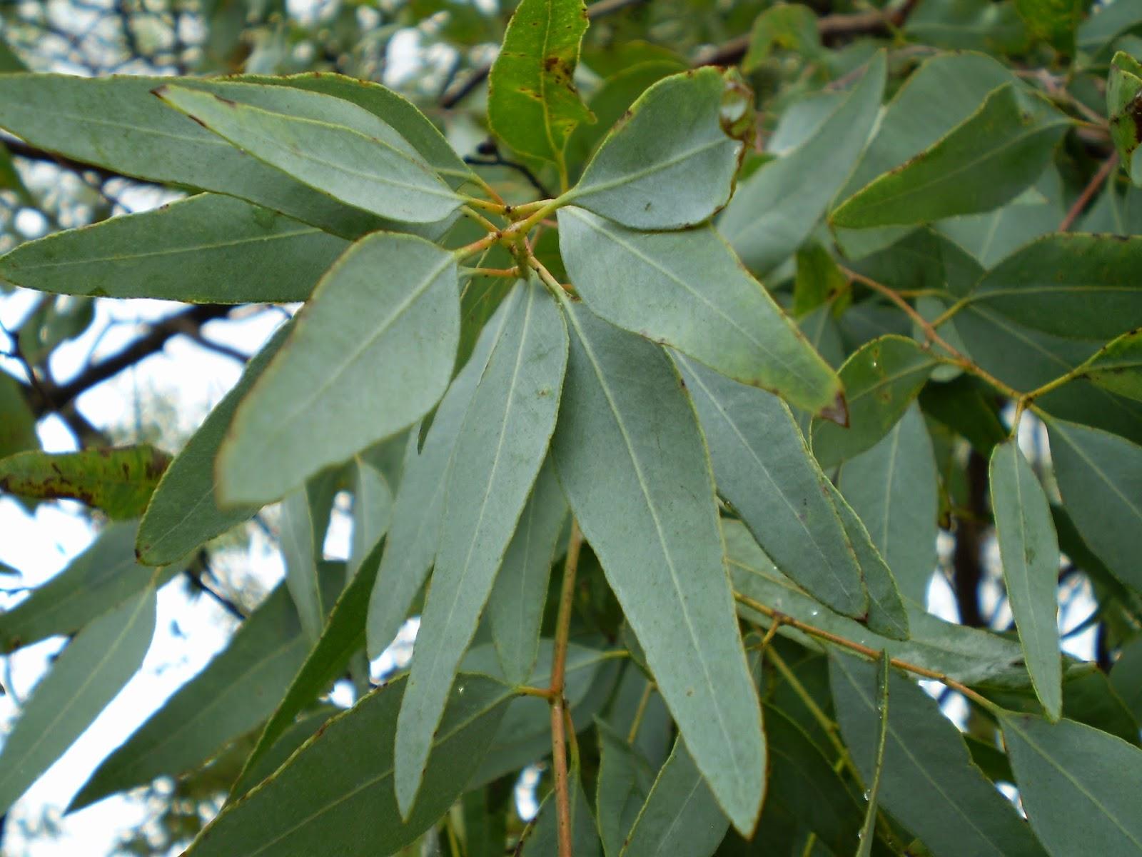 aldawaa 7 eucalyptus leaves. Black Bedroom Furniture Sets. Home Design Ideas