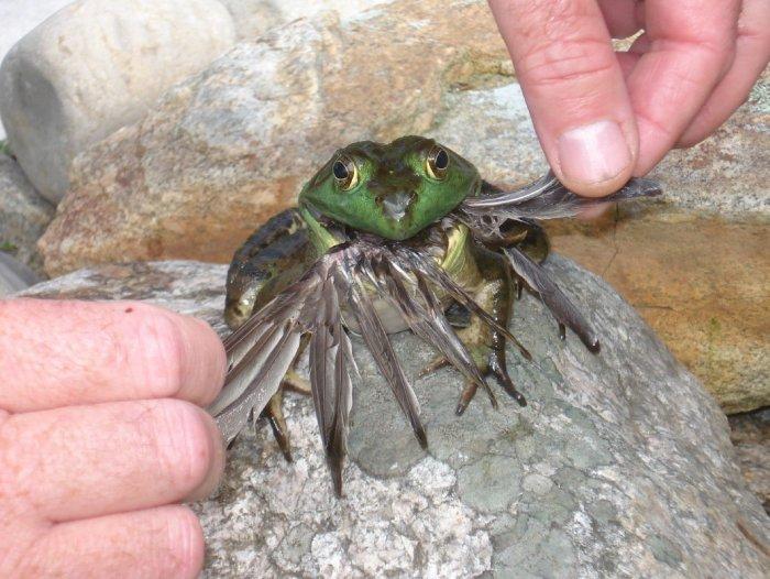 desert rain frog size