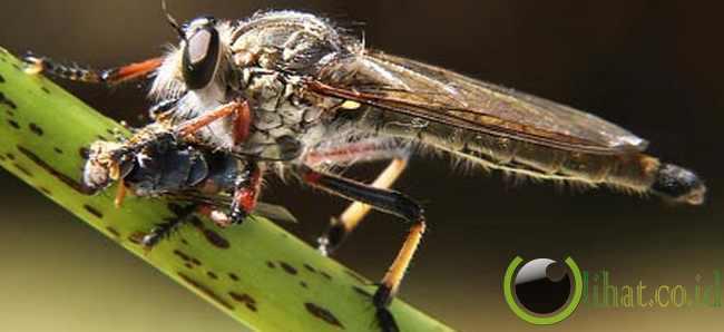 Lalat Perampok