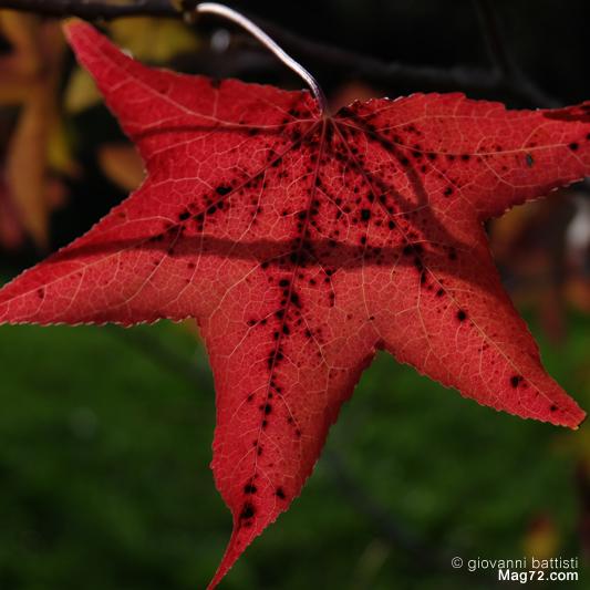 Fotografia di foglia rosso fuoco