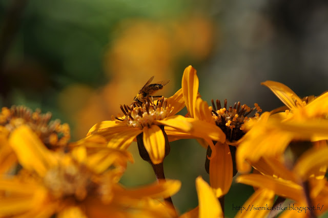 осенние цветы, жёлтые цветы, конец лета, начало осени, сентябрь, бабье лето, пчела на цветке
