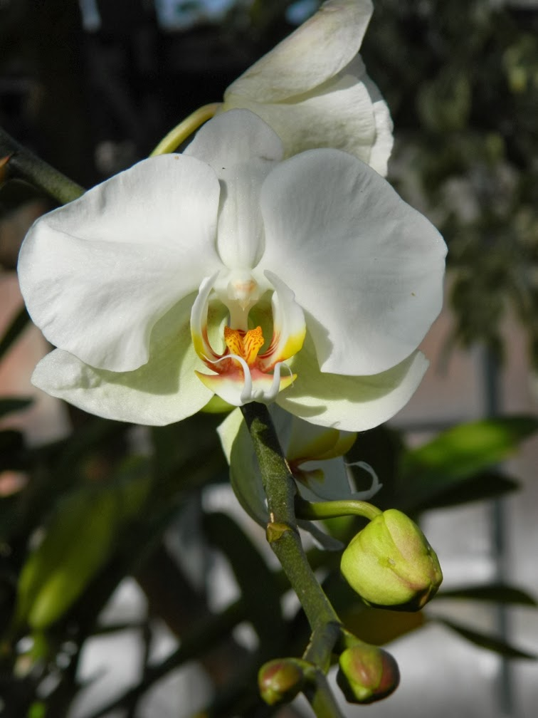 Phalaenopsis white moth orchid Allan Gardens Conservatory 2014 Spring Flower Show by garden muses-not another Toronto gardening blog