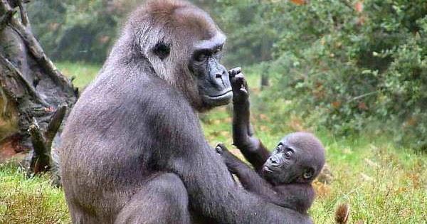 Gorilas en la niebla desmitificando la caverna antonio for Gorilas en la niebla