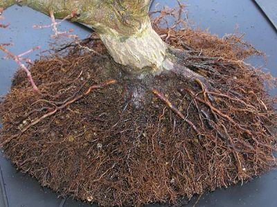 El bonsai de arce trasplante en arces - Arce japones cuidados ...