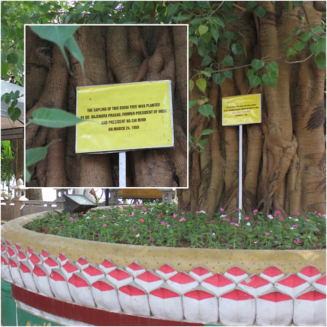"50-year-old Bodhi tree gifted by former Indian President in 1959 explains ""The lotus represent Buddha while the Bodhi is a symbol of supreme knowledge"" at Tran Quoc Pagoda in Hanoi, Vietnam"
