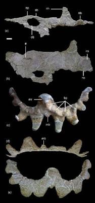 Sinoceratops skull