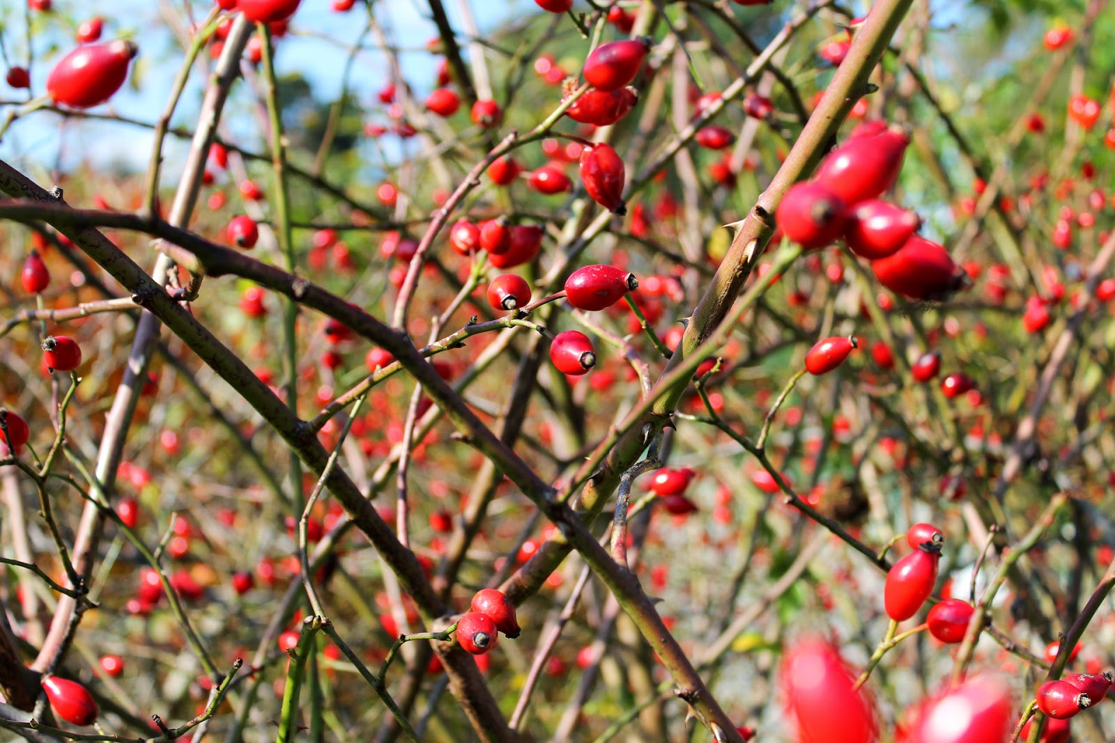 Rose shrub with hips