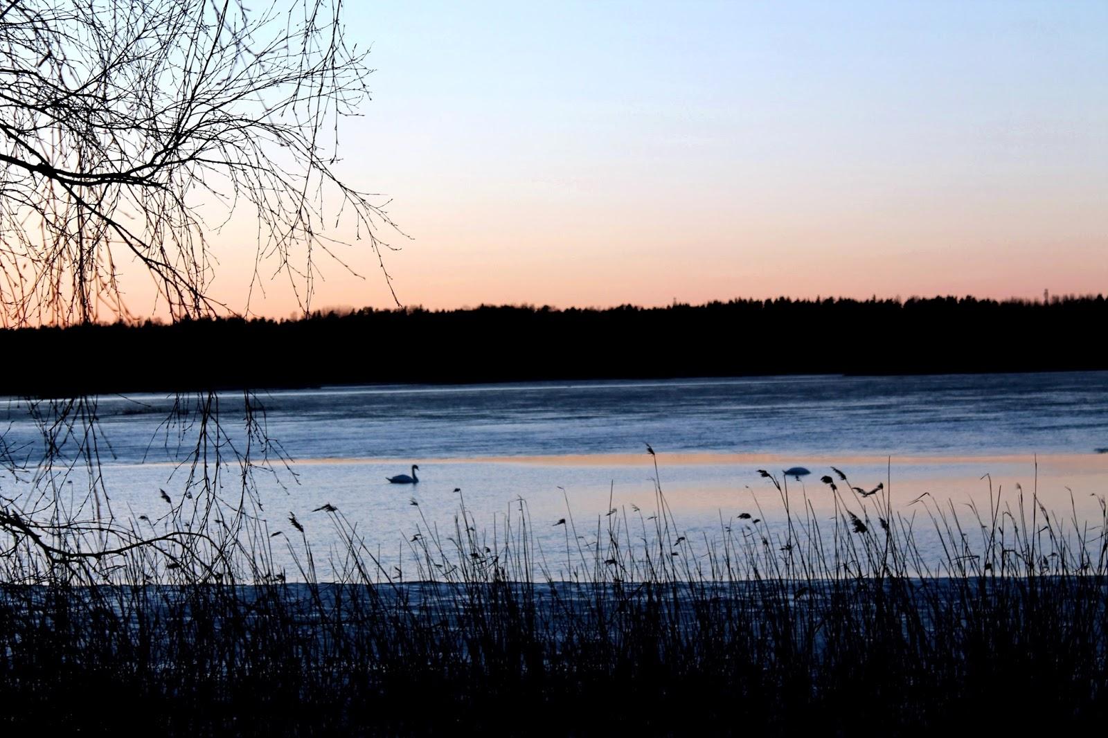 swan, swans, bird, lake, sea, strand, beach, ranta, meri, järvi, joutsen, joutsenet, tree, ice, cold, evening, sunset, winter, spring, autumn, ilta, auringonlasku, talvi, kevät, syksy