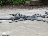 Iguanas outside of the Charles Darwin Research Station, Santa Cruz.