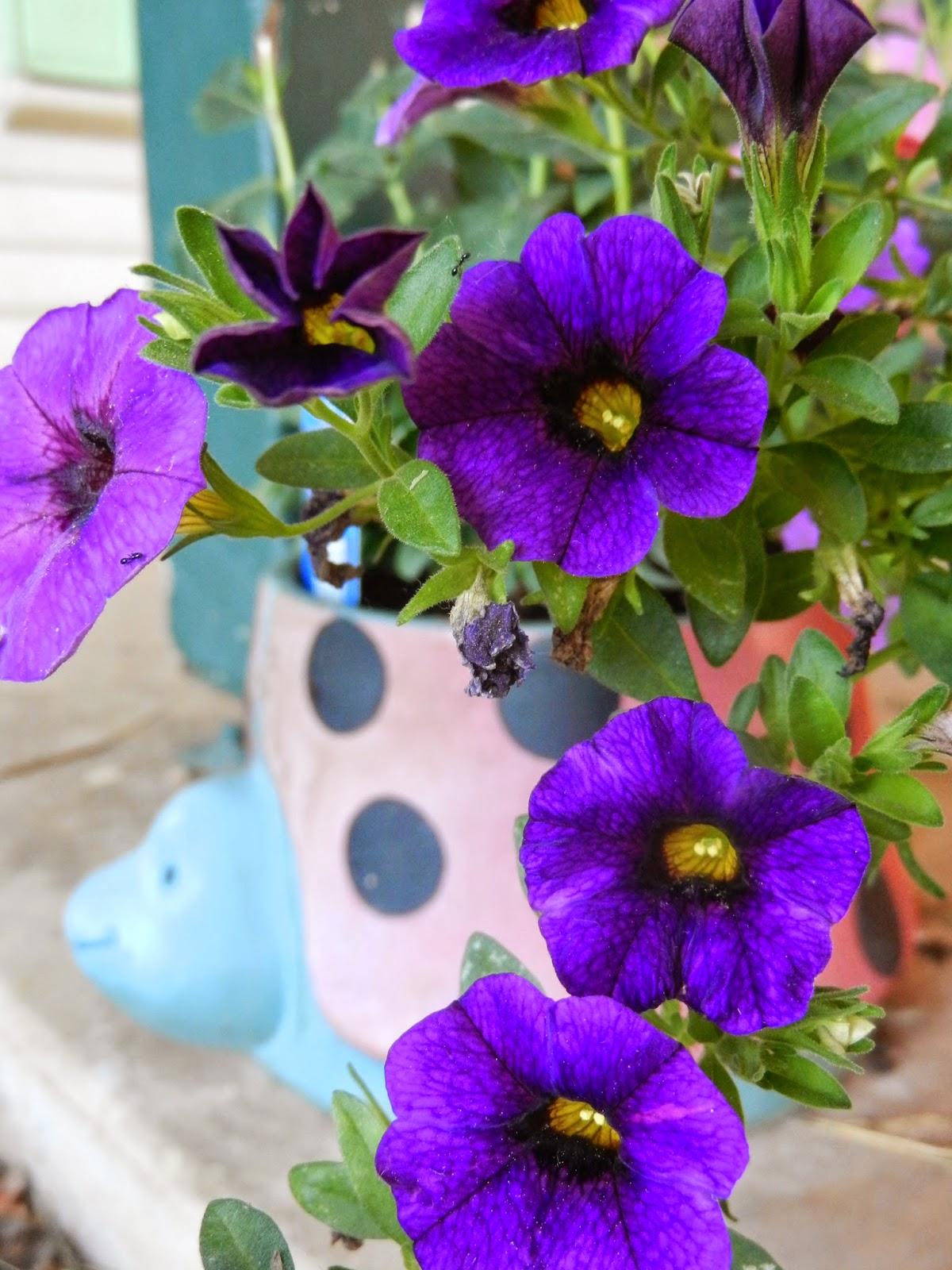 tiny petunias