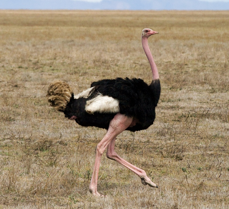 Birds of the World: Ostrich