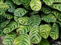 http://plantsgallery.blogspot.com/2014/02/maranta-leuconeura-maranta-biao.html