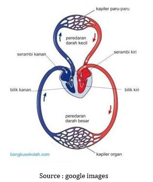 Sistem Sirkulasi / Peredaran Darah Pada Manusia