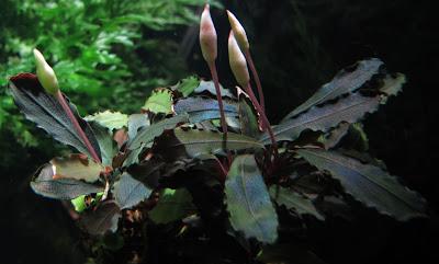 Картинки по запросу Bucephalandra sp. Tricolor 2