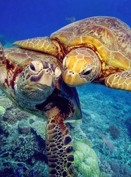 две черепахи в воде