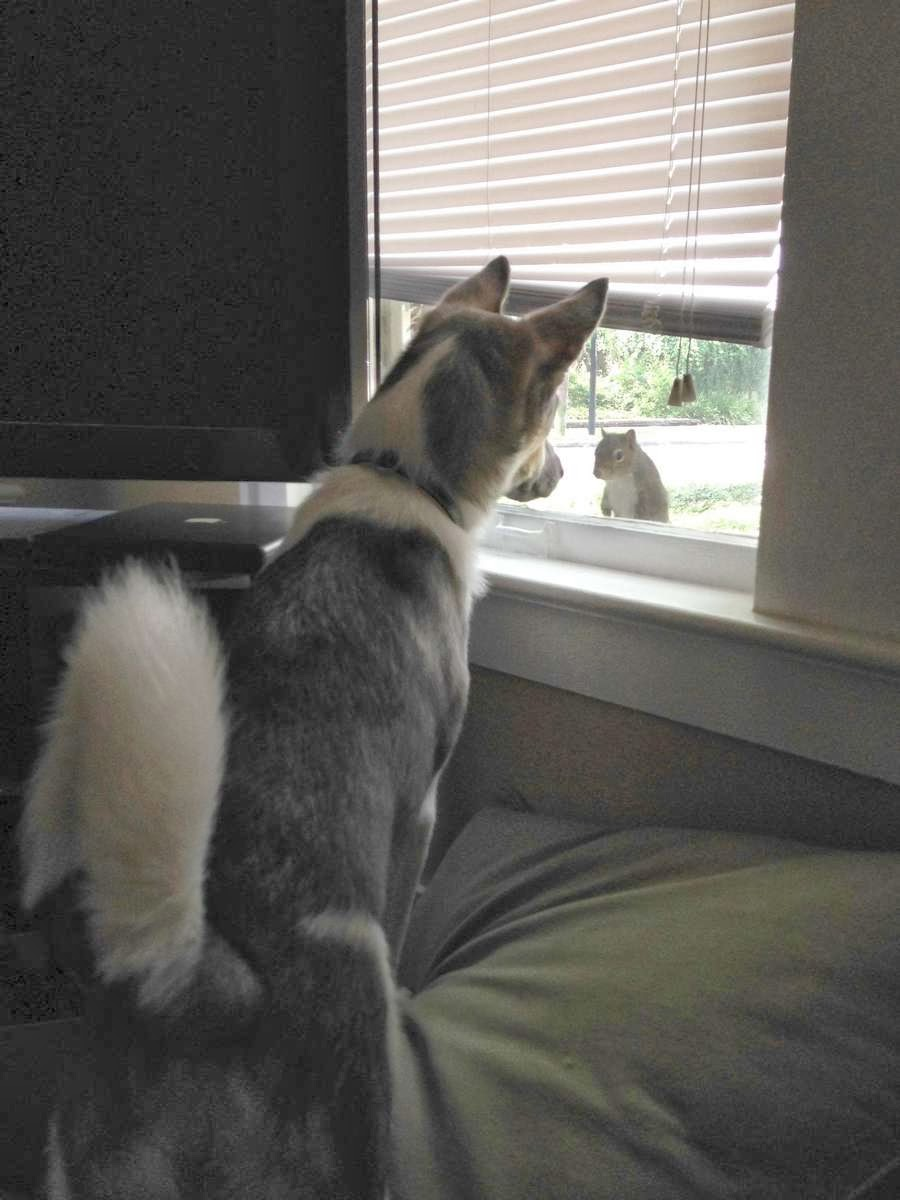 Funny animals of the week - 22 November 2013 (35 pics), dog sees squirrel outside window