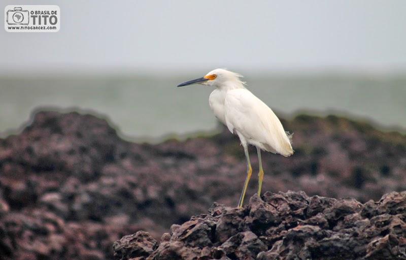 Garça-branca-pequena na praia da Princesa, na Ilha de Maiandeua (Algodoal), no litoral paraense