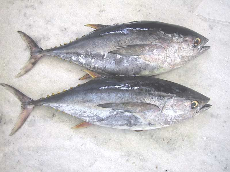 Fish r tuna fish and giant for Tuna fishing video